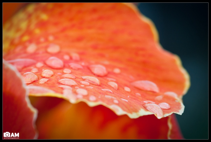 Clam Flower